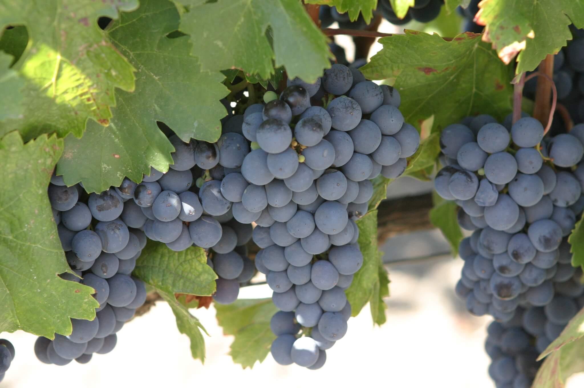 Uva criolla un vino que continúa escribiendo su historia