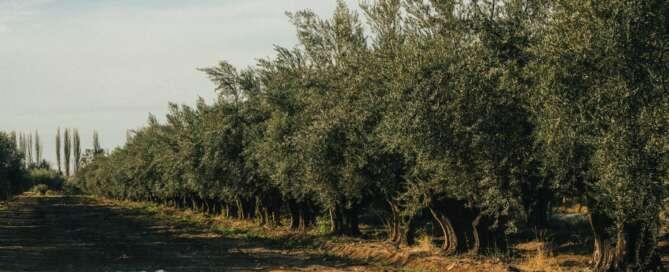 Olivícola Laur en busca de la primera Denominación de Origen para el Aceite de Oliva Mendocino